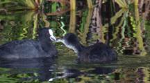 An Adult And Juvenile Coot Have A Brisk Swim