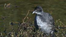 A Juvenile Coot Preens At The Margin Of A Pond