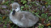 An Cygnet Walks On Grass Past Another One