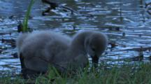 A Cygnet Forages At The Margin Of A Pond