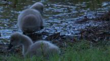 Two Cygnets Walk Back Into A Pond