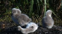 Three Cygnets Preen, When One Looses Its Footing And Tumbles