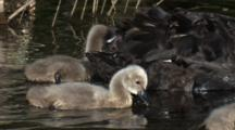 Cygnets Always Remain In Close Distance To Their Parents