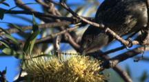 A Little Wattlebird Forages On Banksia Bloom