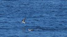 Gannets Fly Over Water, One Dives, After Sighting Fish