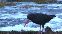 An Oystercatcher Searches For Food During Low Tide