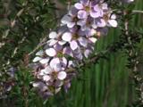 Tea Tree Bloom Sways In The Wind