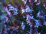 Wax Flowers Decorate Heathland Areas In Spring