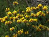 In Spring Heathland Areas Are In Full Bloom