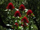 Waratah Flowers Grow In Dry Sandy Soils Of Open Forests