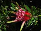 The Flower Of A Heathland Shrub