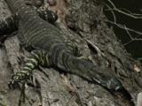 A Lace Monitor Lies On A Fallen Tree