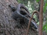 A Lace Monitor Descends From A Tree Trunk In A Hurry
