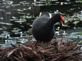 A Dusky Moorhen Stands On Its Nest And Calls