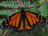 A Monarch Butterfly Perched On A Fern