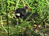A Swamphen Punishes A Chick For Being Over-Demanding
