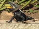 A Male Jacky Lizard With Female Nearby Displays