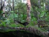An Excited Male Lyrebird Tries To Impress A Female
