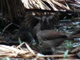 Lyrebirds Forage Among Dry Palm Fronds