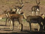 Blackbuck Antelopes Are Natives Of India, Nepal And Pakistan