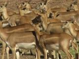 Blackbuck Antelopes Can Reach Speeds Of Up To 80 Km/H