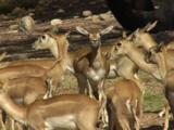 Blackbuck Antelopes Are Natives Of India And Pakistan