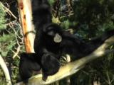 A Native Of Asia, The Siamang Is An Arboreal Gibbon