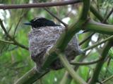 A Willie Wagtail In Its Nest