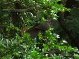 A Brown Cuckoo-Dove Flies Off A Bush