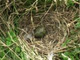 The Egg Of A Seabird In A Nest Of Dry Grass