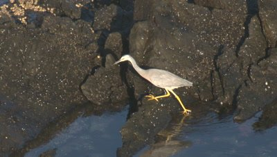 A Heron searches for edibles on coastal rocks