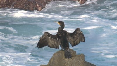 A cormorant has a snooze while drying its wings