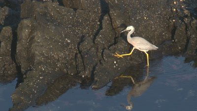 A heron searches for food on coastal rocks