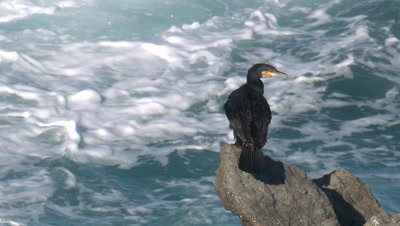 Great Cormorant perched on a rock in turbulent water