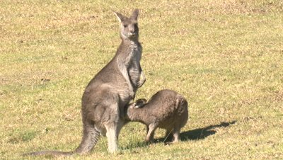 A Kangaroo joey suckles in the pouch of its mother
