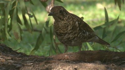 A Scaly Thrush picks up nibbles and walks away
