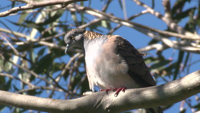 A Bar-shouldered Dove,perched on a gum tree