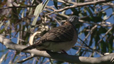 Bar-shouldered dove perched on a gum tree branch