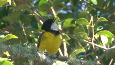 A Golden Whistler voices its song on a perch