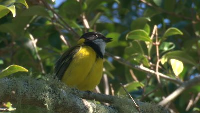 A Golden Whistler voices its song and preens