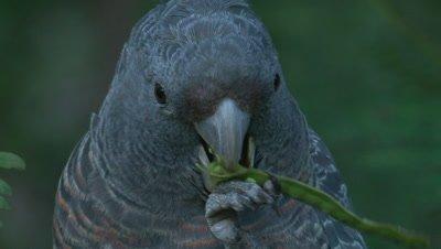 A Gang-gang Cockatoo female eats acacia seeds