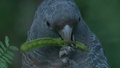 A Cockatoo systematically removes seeds from a seed pod