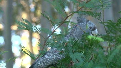 A Cockatoo nibbles on Acacia seed pods and flies off
