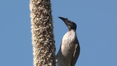 A Noisy Friarbird forages on a grass tree