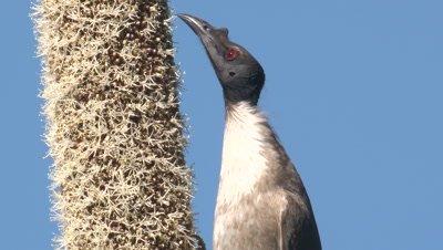 A Noisy Friarbird feeds on the rich nectar of a grass tree