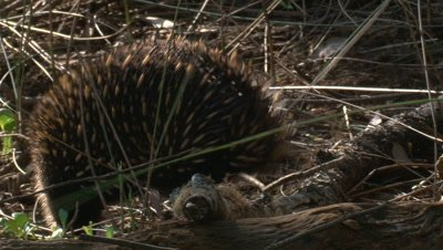 Echidnas are found in all habitats