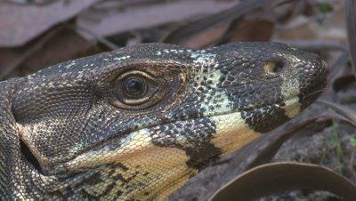 A Lace Monitor keeps a careful eye on its surroundings