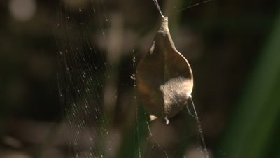 A leaf,caught in a spider's thread,vibrates in the wind