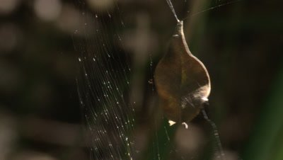 A leaf,caught in a spider's web,vibrates in the wind