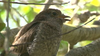 Fan-tailed Cuckoo chick is waiting for a snack